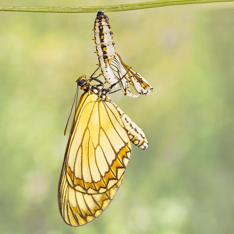 Butterfly emerging from its chrysalis. Demonstrating how having a procedure with Chicago board certified plastic surgereon Lawrence Iteld, MD is unwrapping the new you
